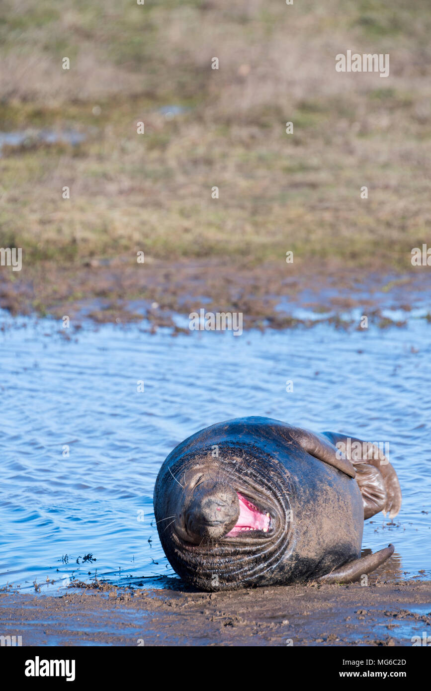 Donna Nook, Lincolnshire, UK – Nov 16: A grey seal lying in the shallows yawns & stretches 1 of 4 on 16 Nov 2016 at Donna Nook Seal Sanctuary Stock Photo