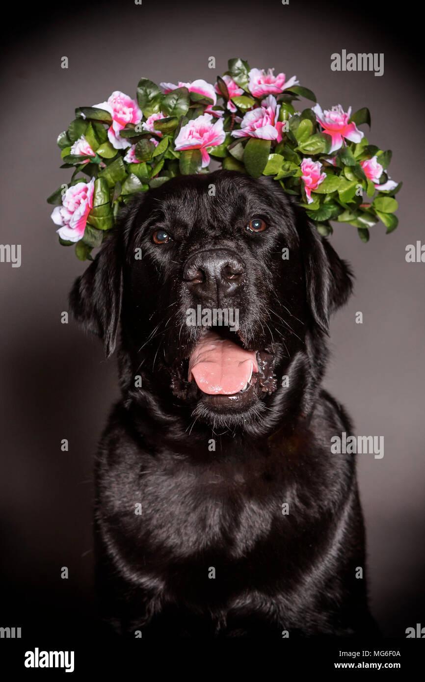 Black labrador dog in a flower crown stock photo 182081658 alamy black labrador dog in a flower crown izmirmasajfo