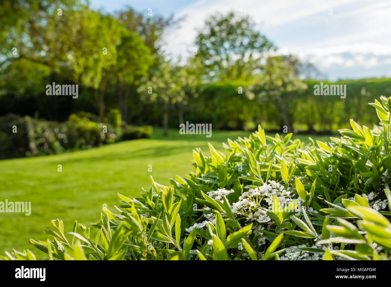 Shallow focus image of newly emerging white flowers seen on a large bush located in a large, well maintained summer garden. - Stock Image
