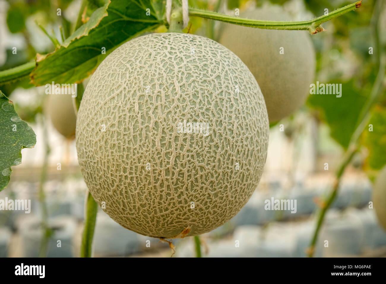 Melon cantaloupe: cultivation, description, photo