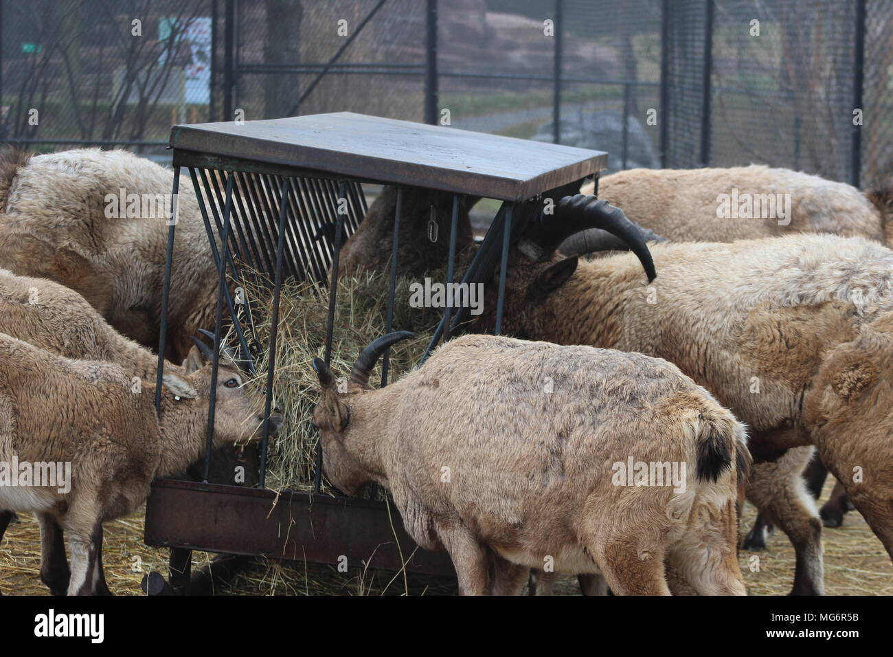 West caucasian tur goat Stock Photo