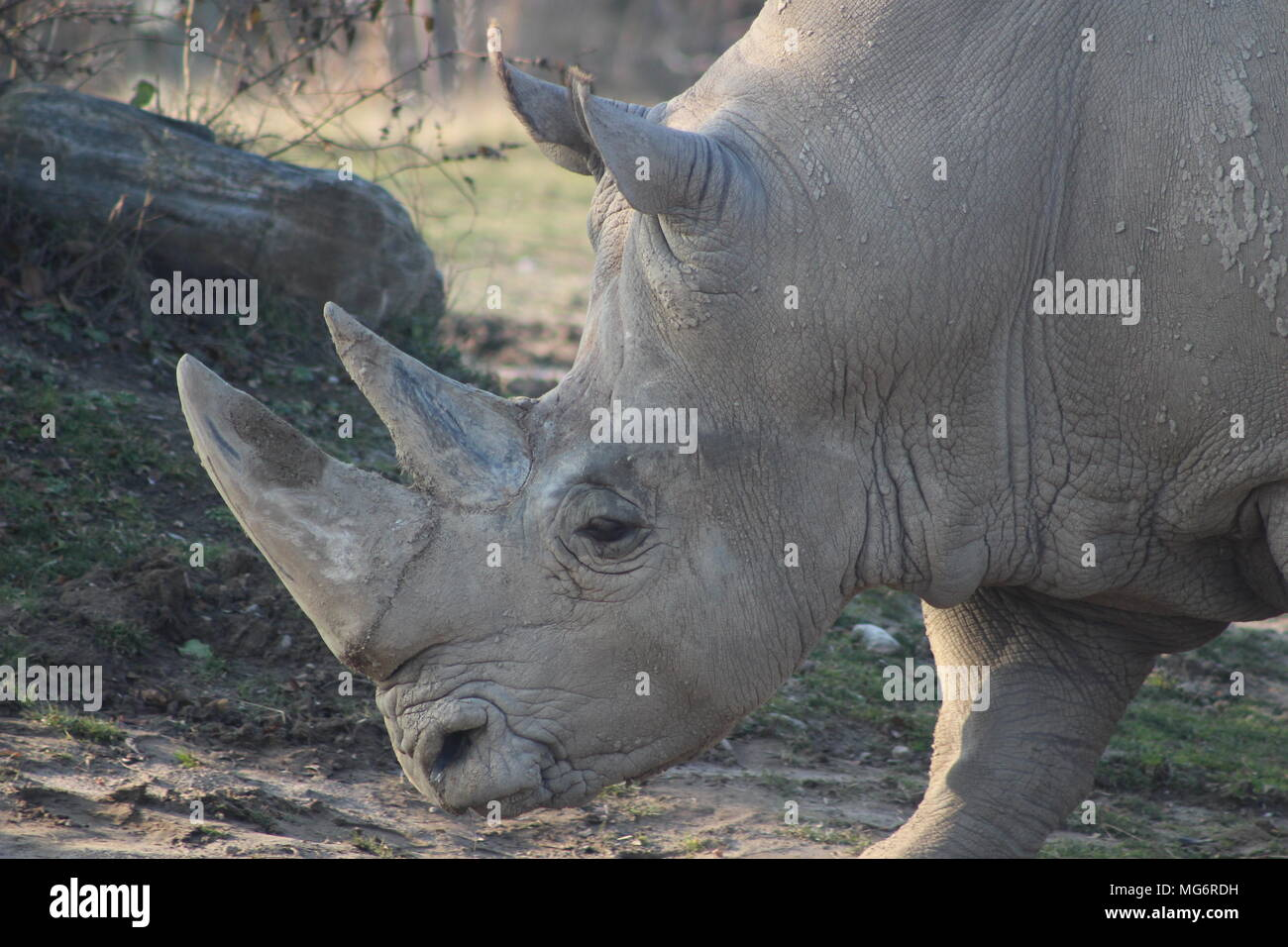 Close up portrait of a white rhino which is an endangered animal the requires conservation - Stock Image