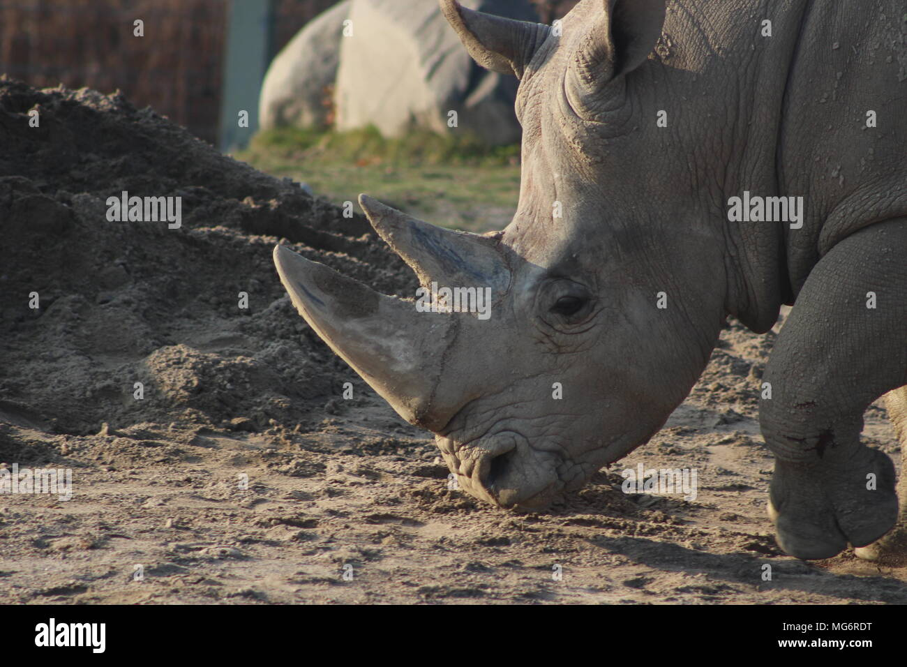 Close up portrait of a white rhino Stock Photo