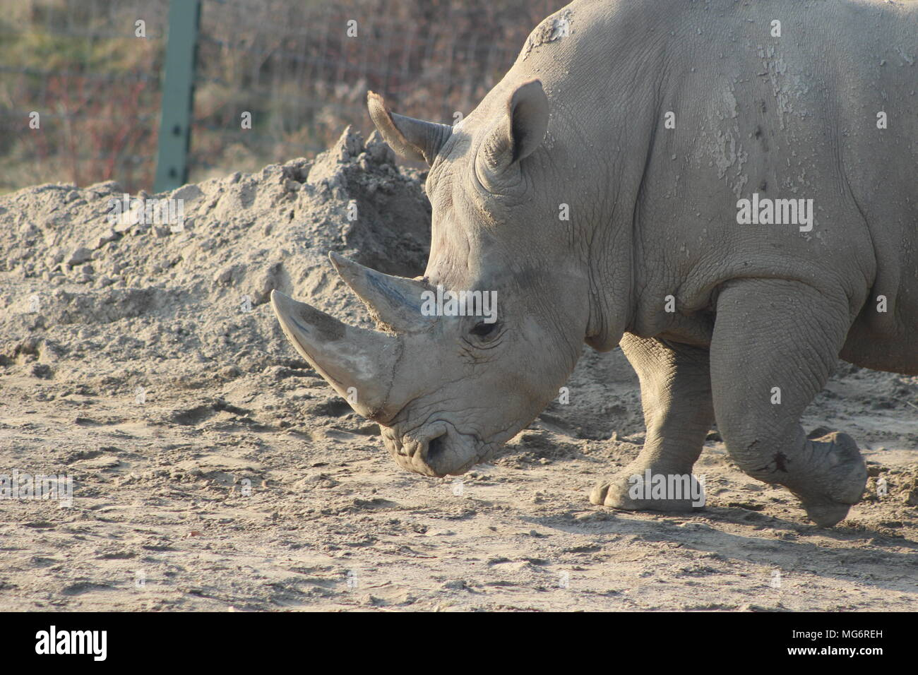 Close up portrait of a white rhino - Stock Image