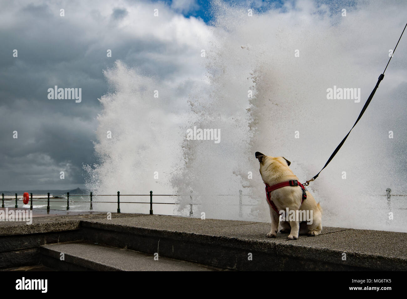 Penzance, Cornwall, UK. 27th April 2018. UK Weather. The rain eased off in the afternoon in Cornwall, however strong winds were pushing in big waves onto the seafront at Penzance - giving Titan the Pug a brief shower. Credit: Simon Maycock/Alamy Live News - Stock Image