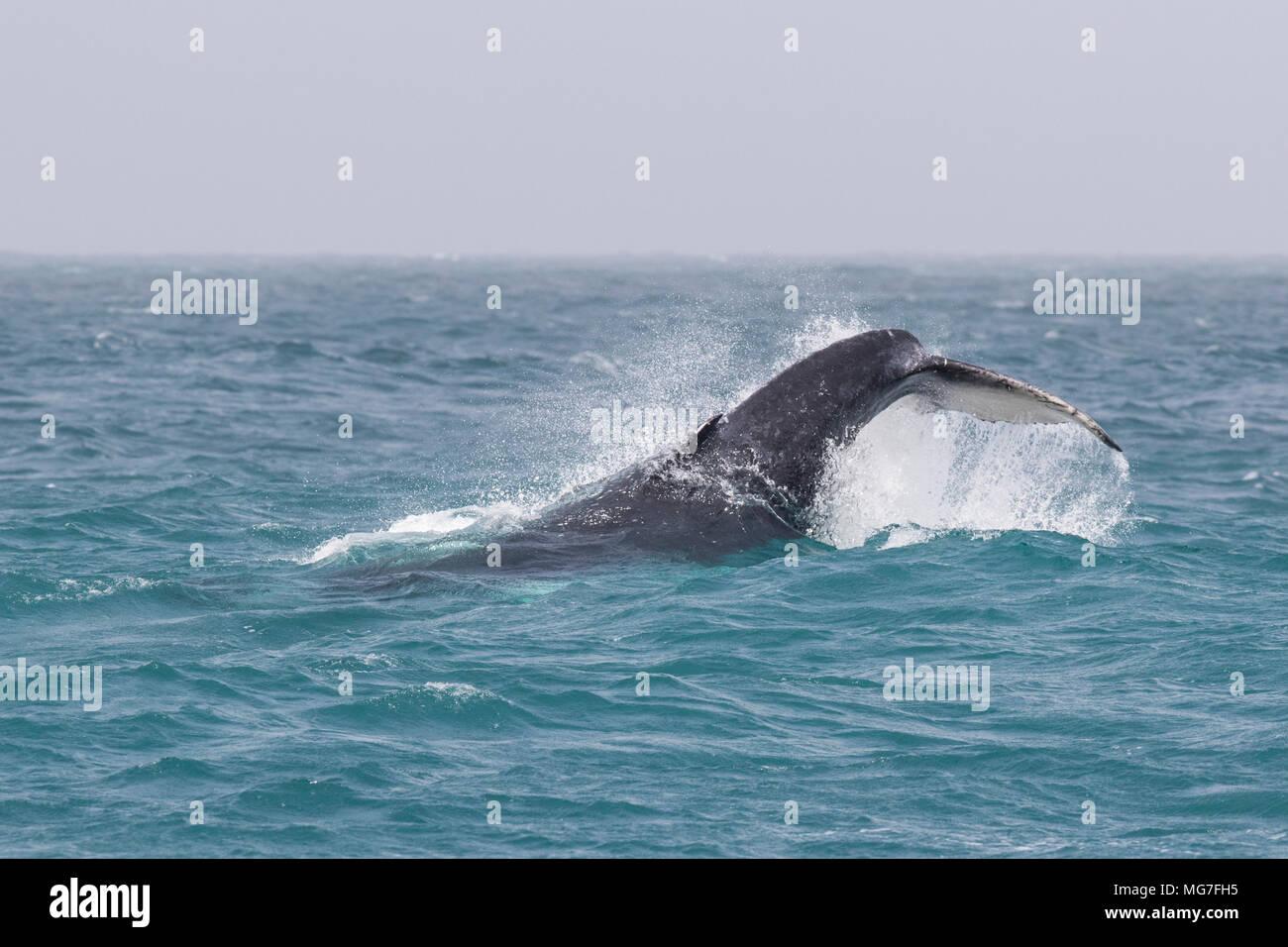 Humpback Whale (Megaptera novaeangliae) calf tail slapping, Boa Vista, Cape Verde - Stock Image