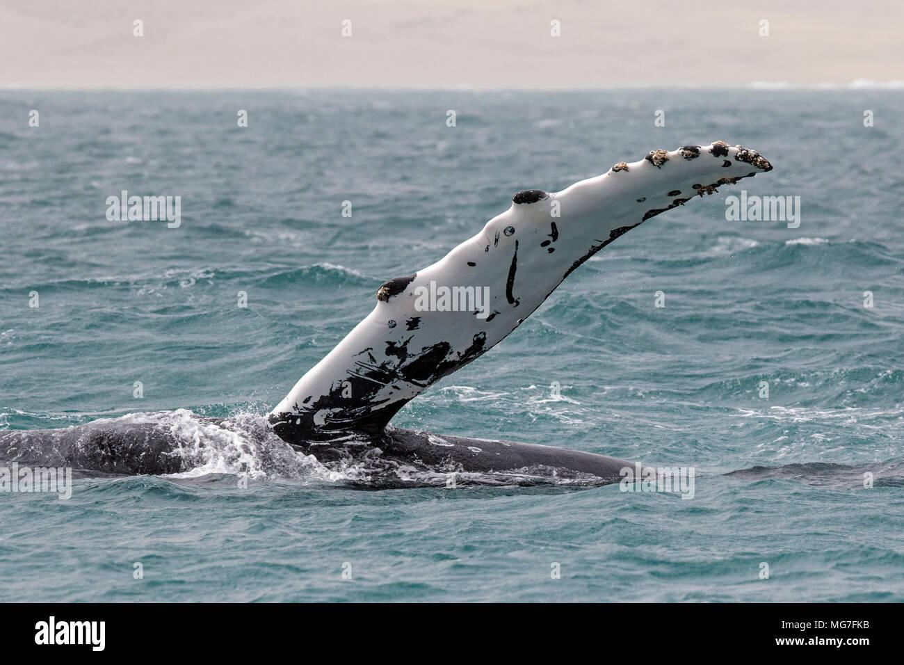Humpback Whale (Megaptera novaeangliae), Boa Vista, Cape Verde - Stock Image