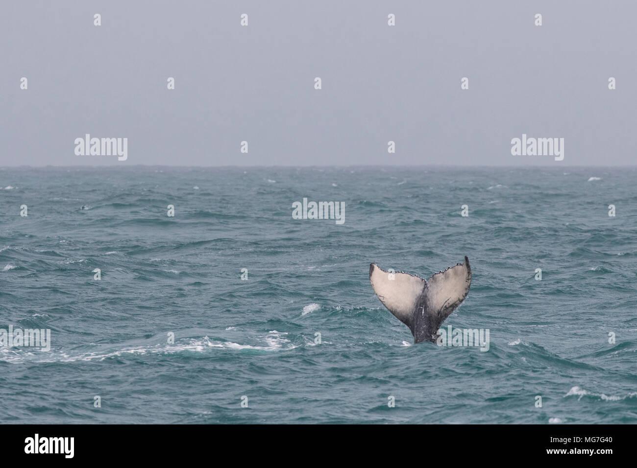 Diving Humpback Whale (Megaptera novaeangliae) calf, Boa Vista, Cape Verde - Stock Image