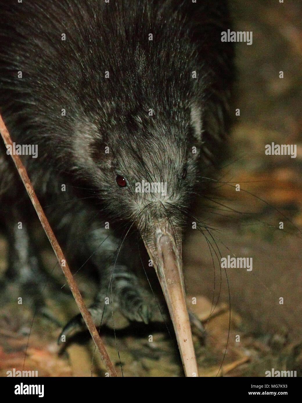 A Brown Kiwi stepping forward. - Stock Image