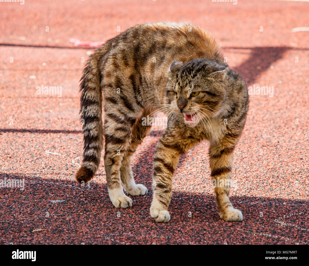 An alley cat, arching its back in a threatening position - Stock Image