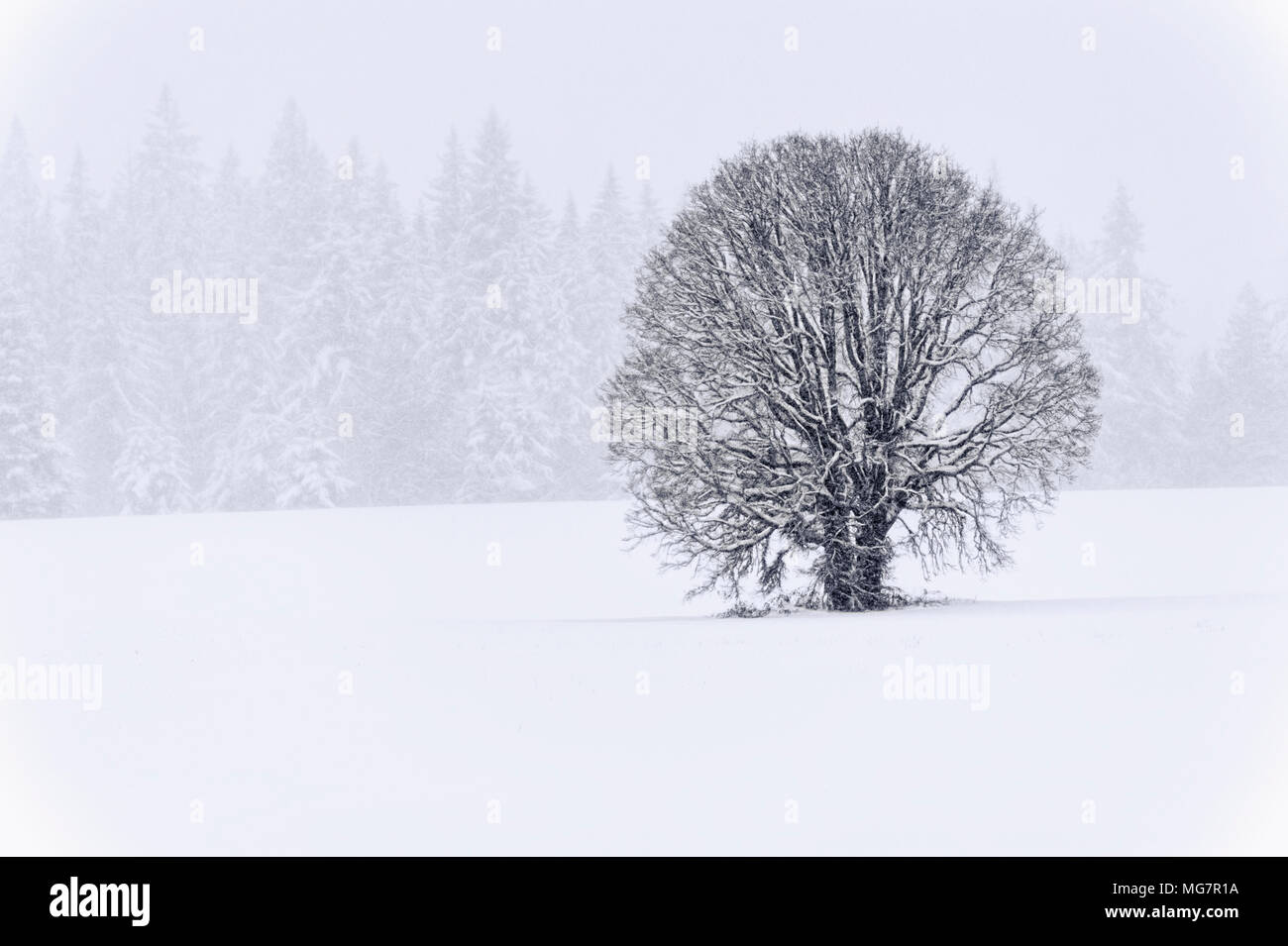 A lone White Oak stand in a field with evergreens in the background while a winter storm whitens the landscape. - Stock Image