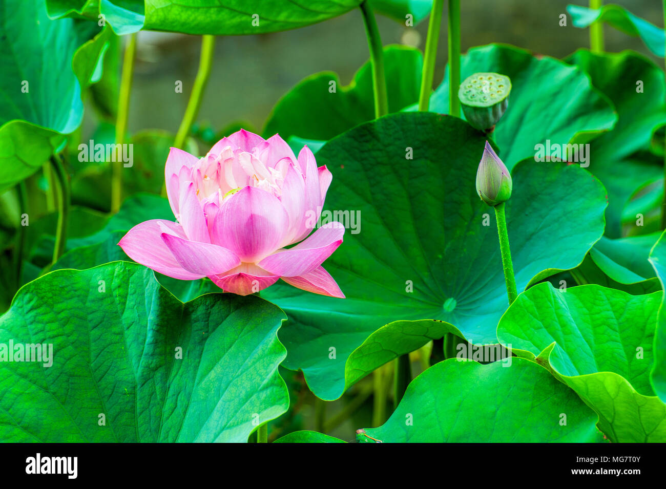 Closeup Of A Pink Lotus Flower Surrounded By Large Green Lotus