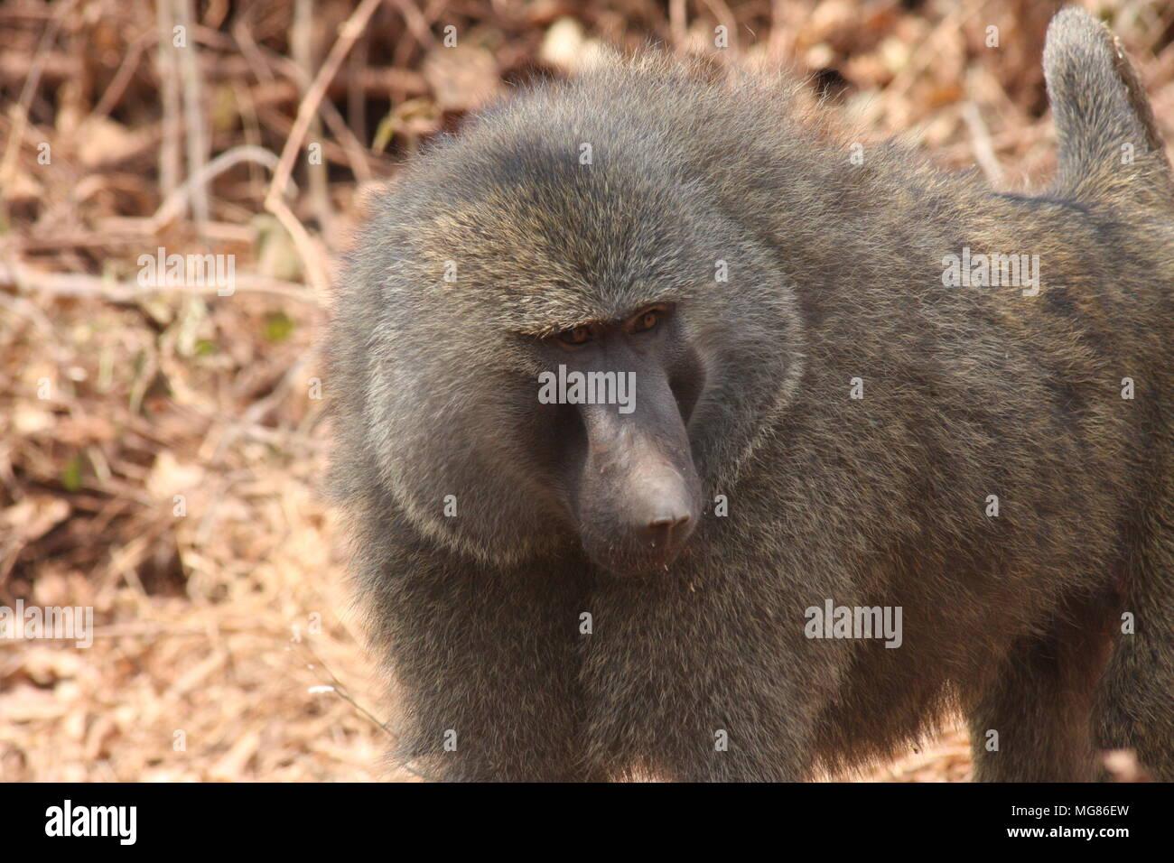 Individual Olive baboon in Tarangire National Park - Stock Image
