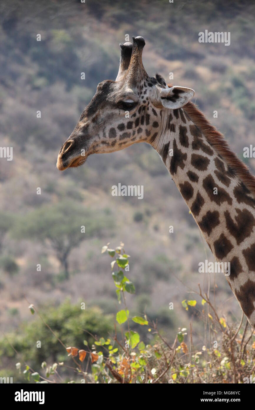 The head and neck of a giraffe Stock Photo