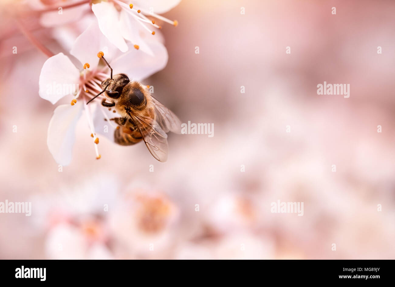 Closeup photo of little bee pollinating blooming cherry tree, insect sitting on gentle white flowers over pink blurry background, spring season Stock Photo