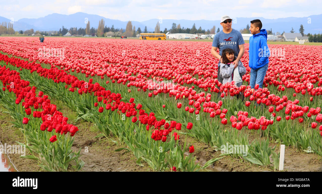 A father and his two children in a field of tulips at the Skagit Valley Tulip Festival in Mount Vernon, Washington, USA. Stock Photo