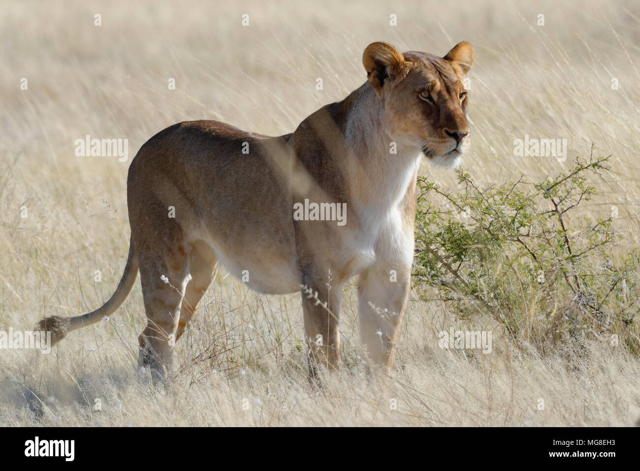 Lioness (Panthera leo) standing in dry grass, alert, watching out, Etosha National Park, Namibia - Stock Image