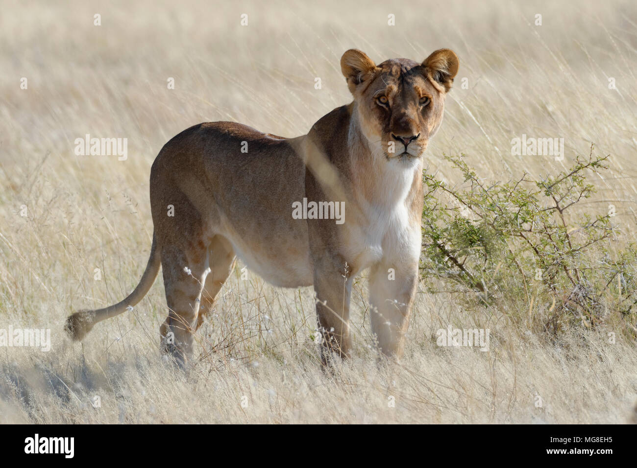 Lioness (Panthera leo) standing in dry grass, alert, Etosha National Park, Namibia - Stock Image