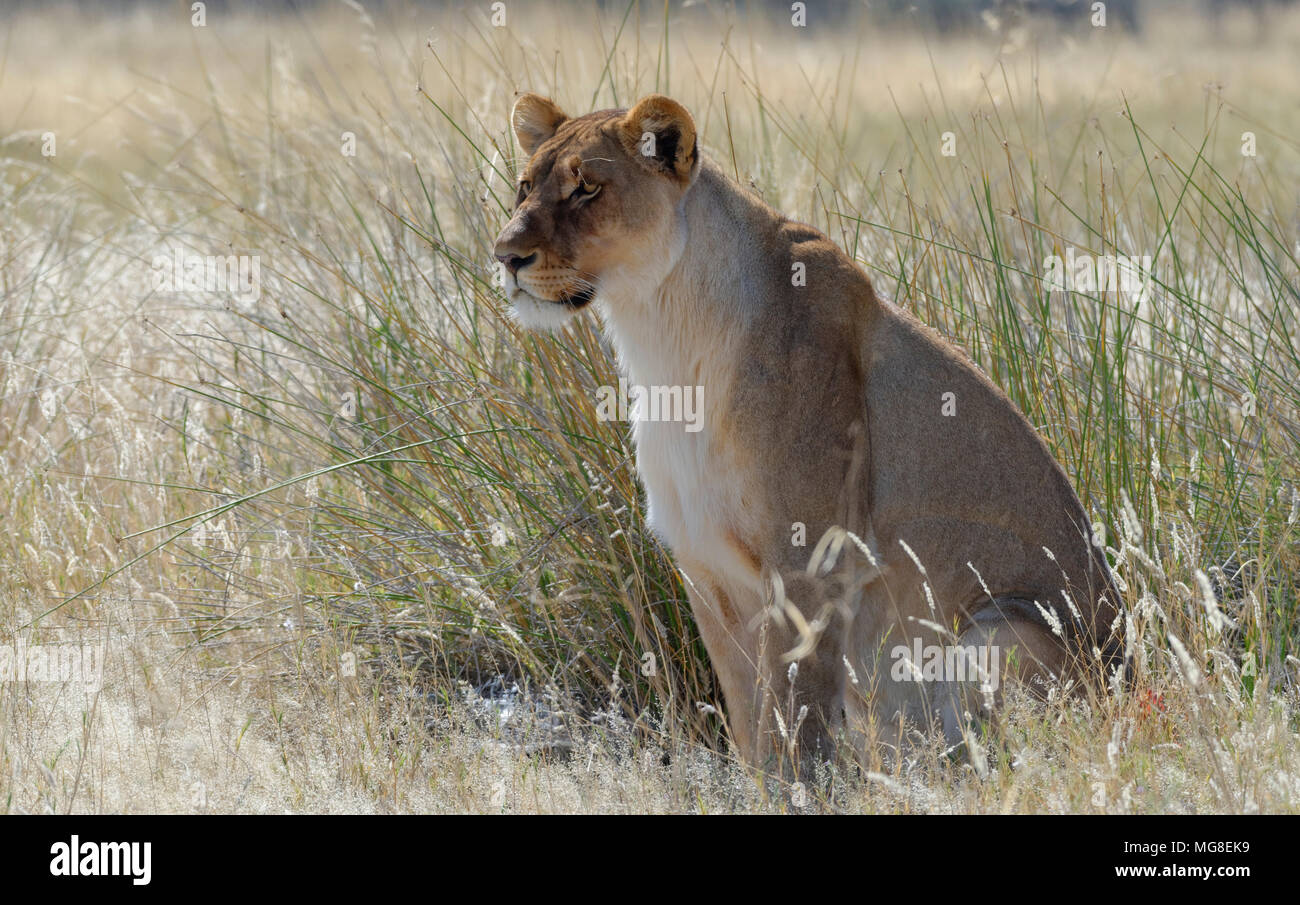Lioness (Panthera leo) sitting in the tall grass, alert, Etosha National Park, Namibia - Stock Image