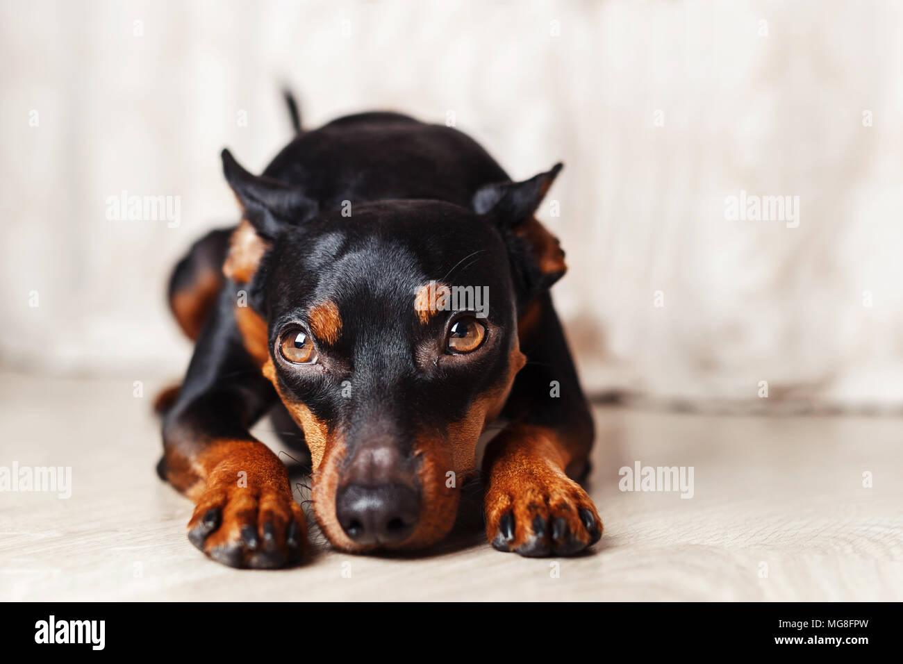 dwarf pincher lies on the floor on a white background, studio portrait of a dog - Stock Image