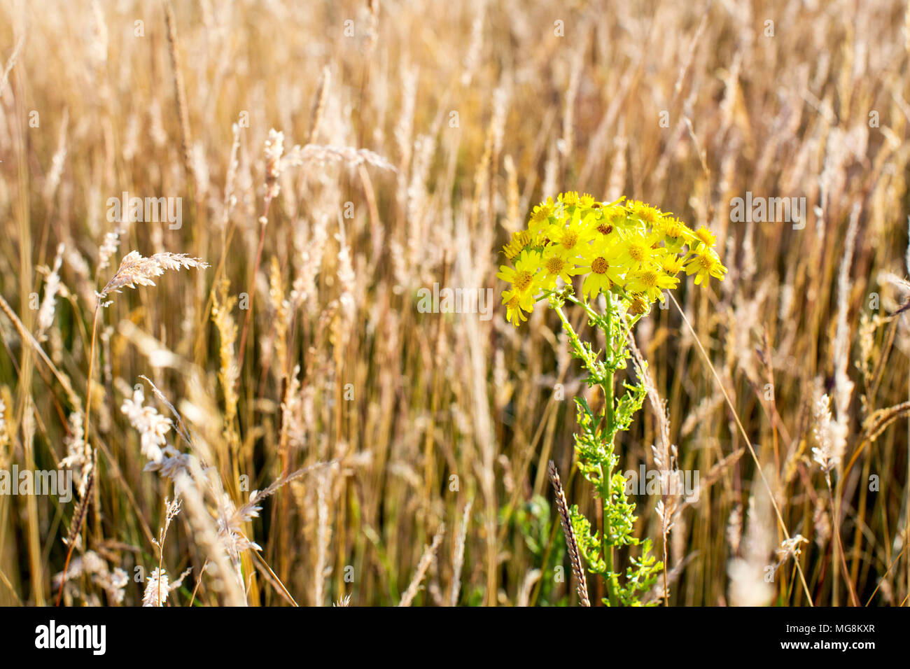 Yellow daisies in a field of wheat. Chilterns, Buckinghamshire, England, United Kingdom - Stock Image