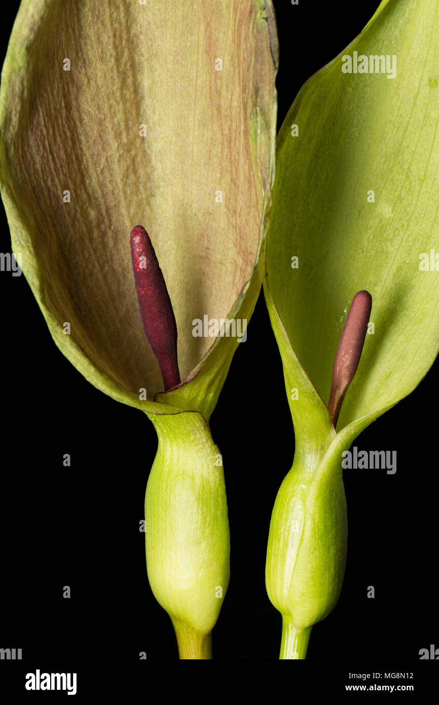 The cuckoo pint or Lords and Ladies plant Arum maculatum showing the hooded leaf and purple spadix. Concealed in its base the spadix has a ring of hai - Stock Image