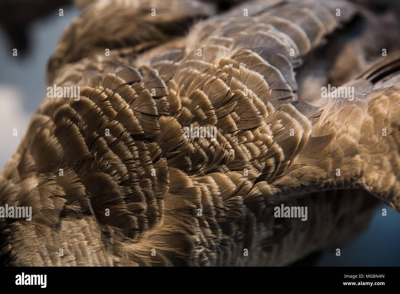 Details of Goose feathers - Stock Image