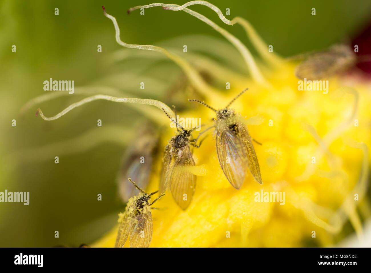 A close-up picture showing tiny owl midges, or owl flies, covered in pollen in the hairs at the base of the spadix in a cuckoo pint plant Arum maculat - Stock Image