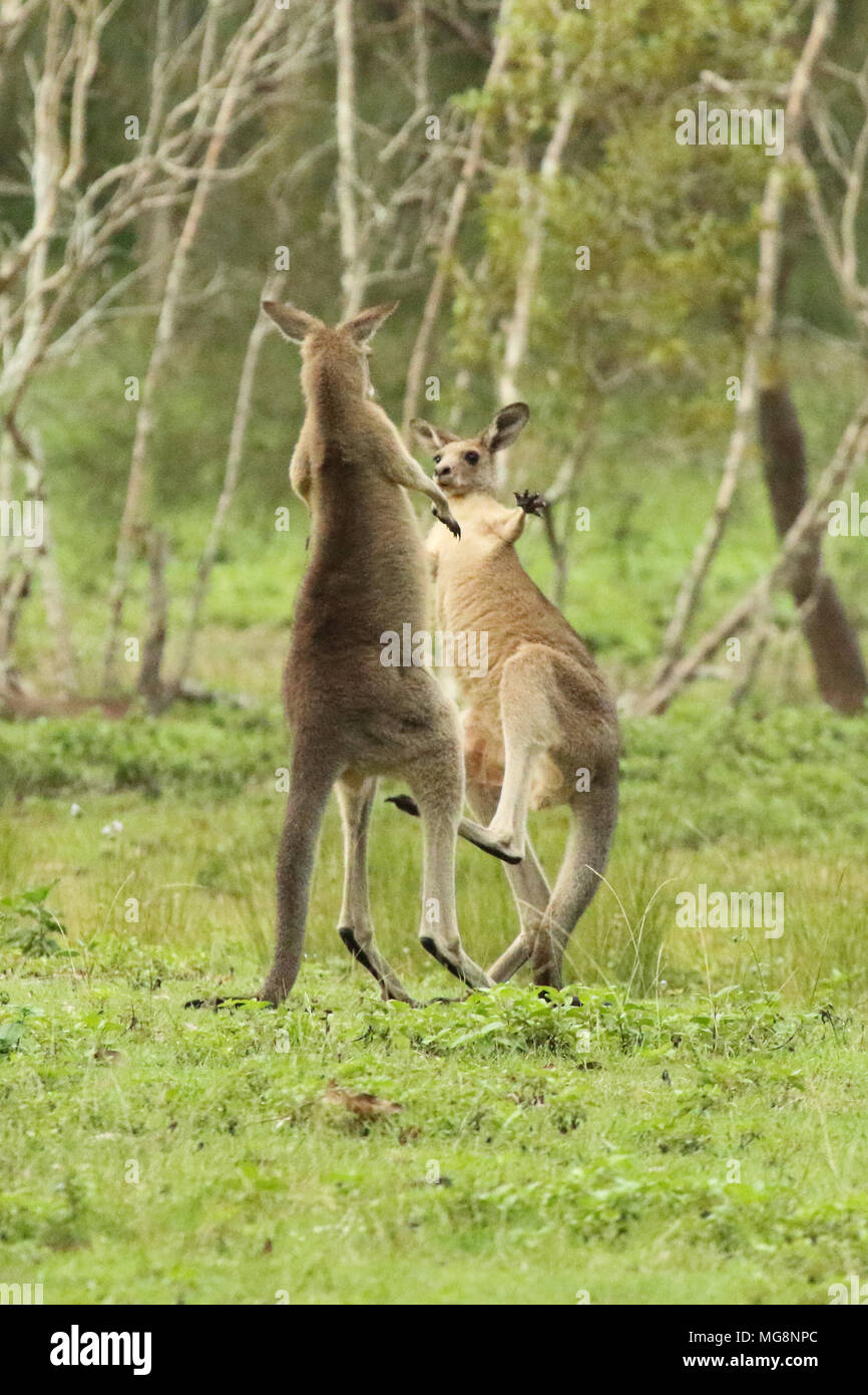 A Kangaroo giving a knockout punch to a rival. - Stock Image