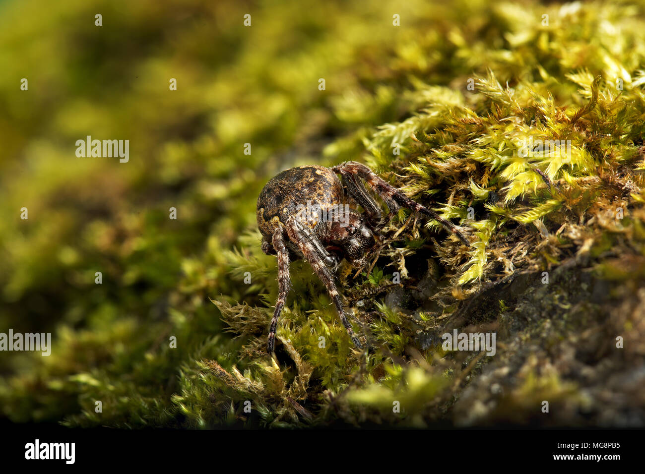 Walnut orb weaver (Nuctenea umbratica) A large and flattened orb-weaving spider in the family Araneidae - Stock Image