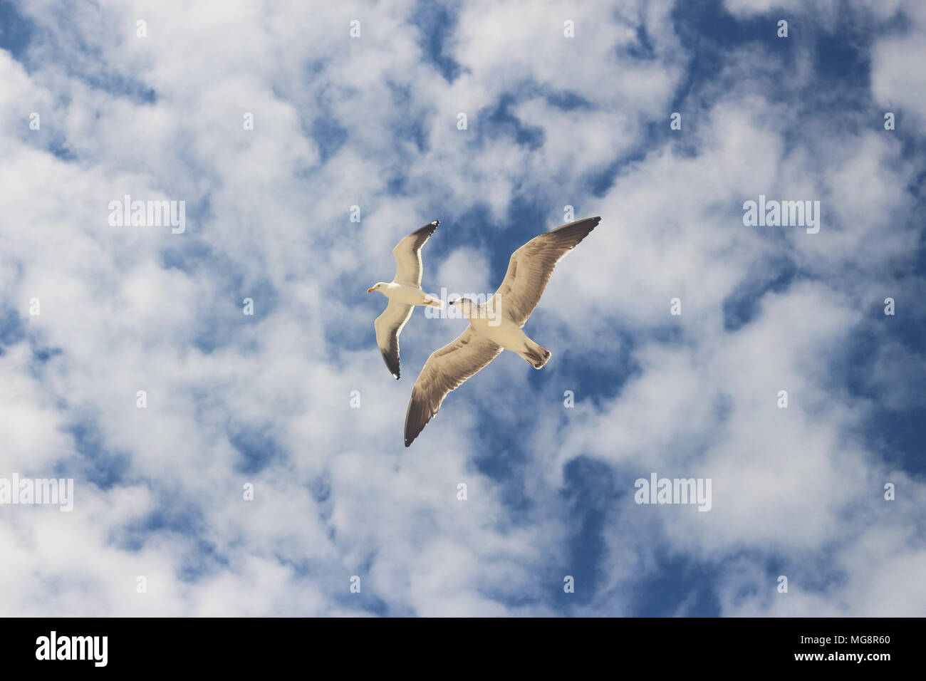 The synchronized flight of two seagulls. They decorate a blue sky that has small white clouds, harmony, lightness, beauty and freedom - Stock Image
