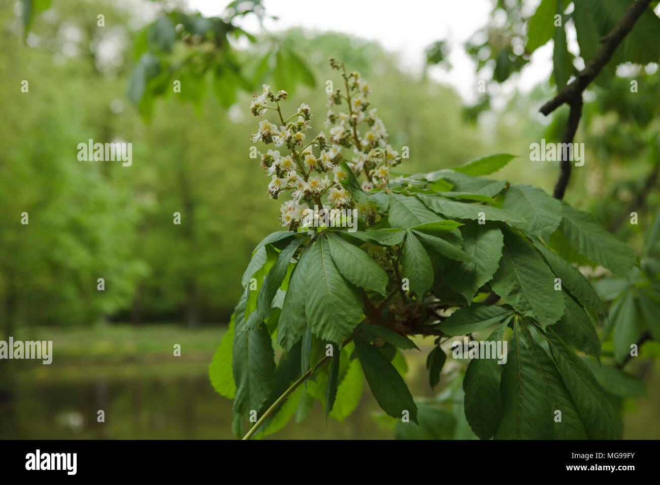 chestnut flowers close up - Stock Image