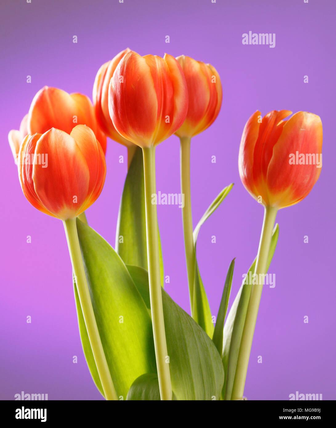 Tulip (Tulipa sp.) flowers. - Stock Image
