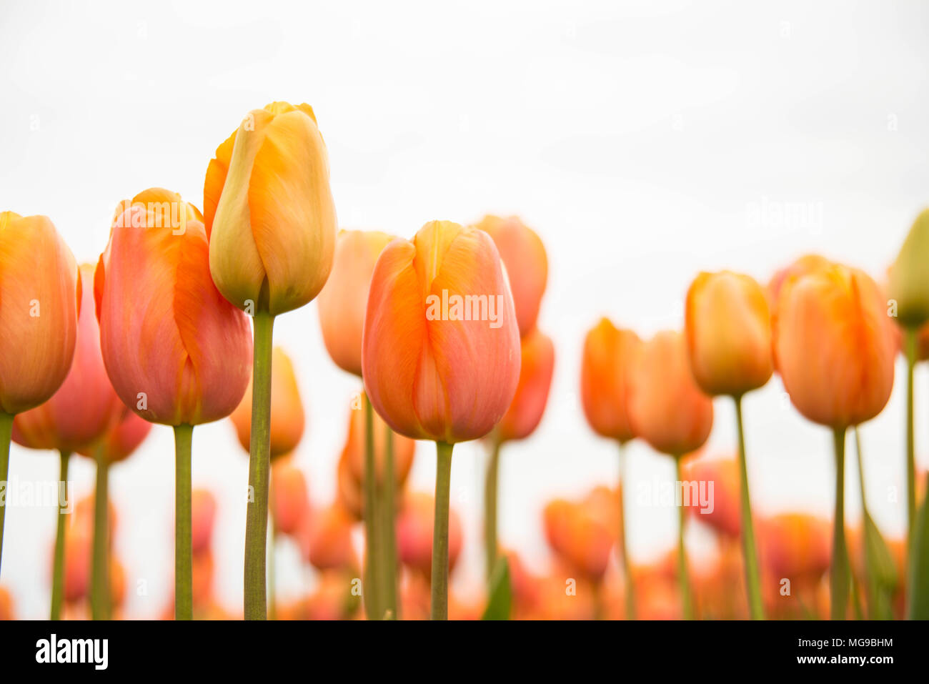 Beautiful orange tulips pop against a white sky. - Stock Image