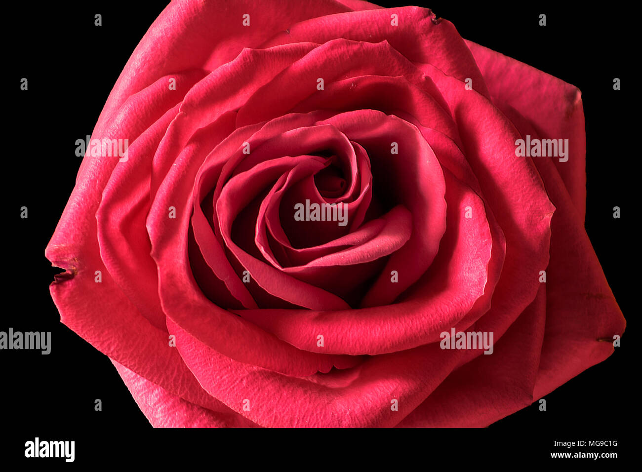 Close-up of Single Red Rose - Stock Image