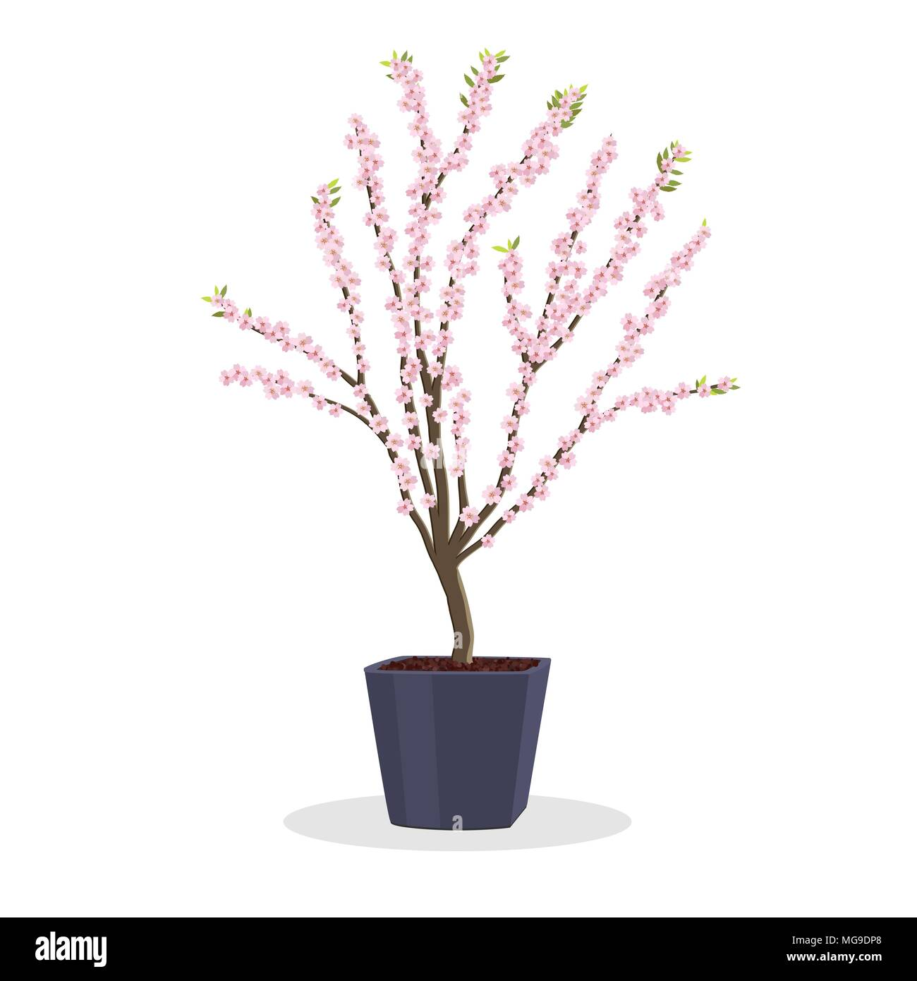 Small plum tree in bloom. Dwarf fruit tree growing in the square flower pot. Growing fruit trees in a container. Spring Bloom. Isolated on white. Gard - Stock Vector