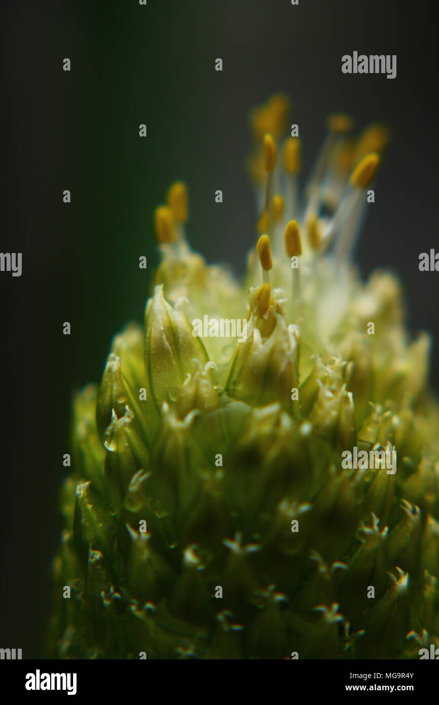Close up of Onion bud and pollen - Stock Image