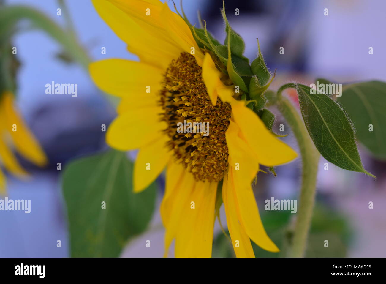 Close up of a sunflower with blurred background, What more is there to say? - Stock Image