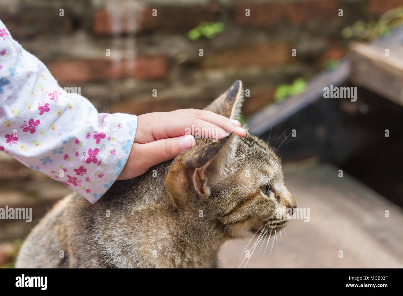 A tabby cat being stroked by a child hands Stock Photo
