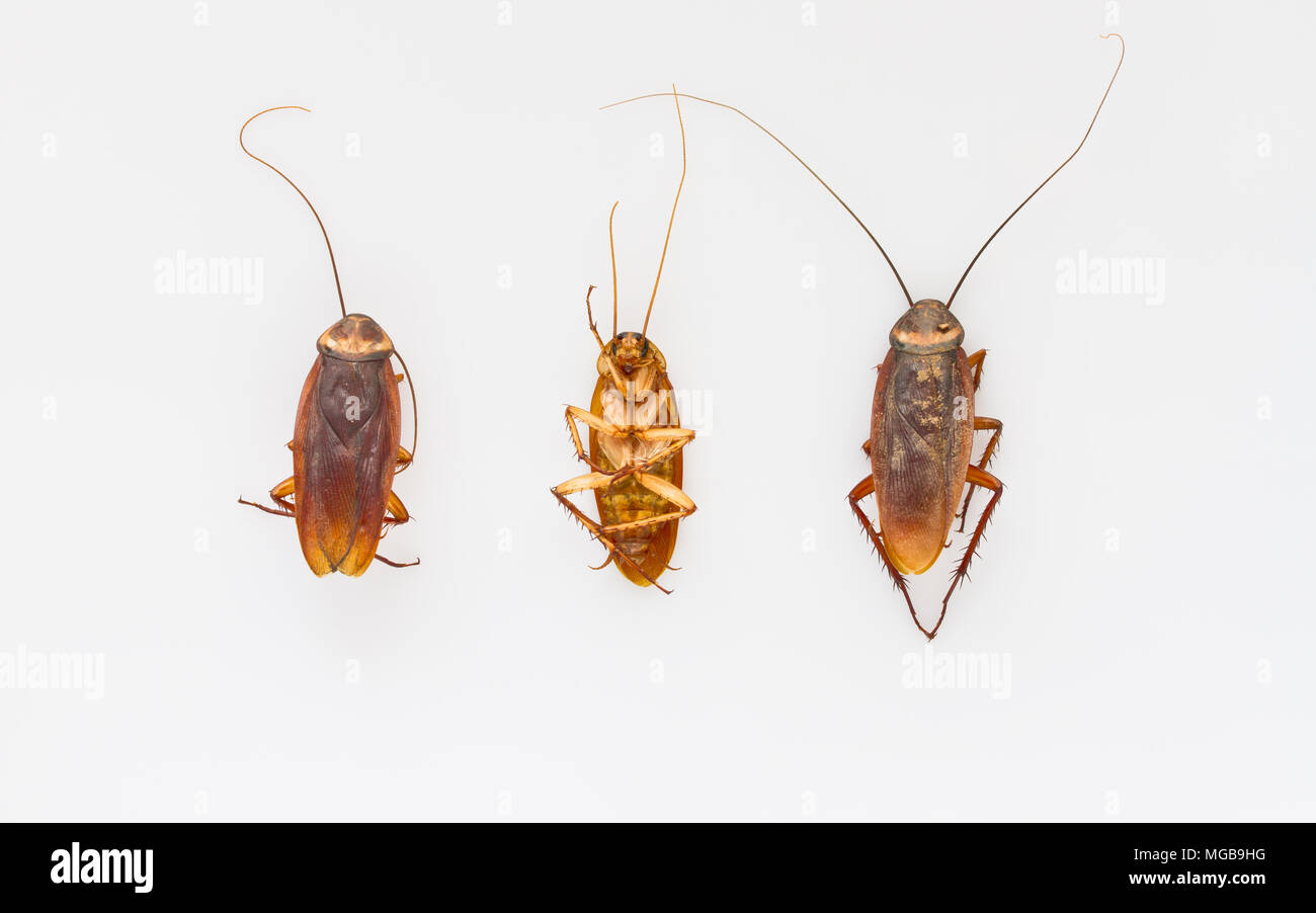 Close up cockroach on white - Stock Image