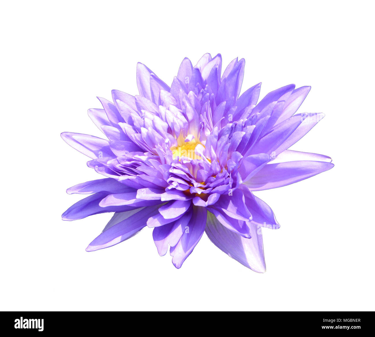 Blue Lotus Of India Cut Out Stock Images Pictures Alamy
