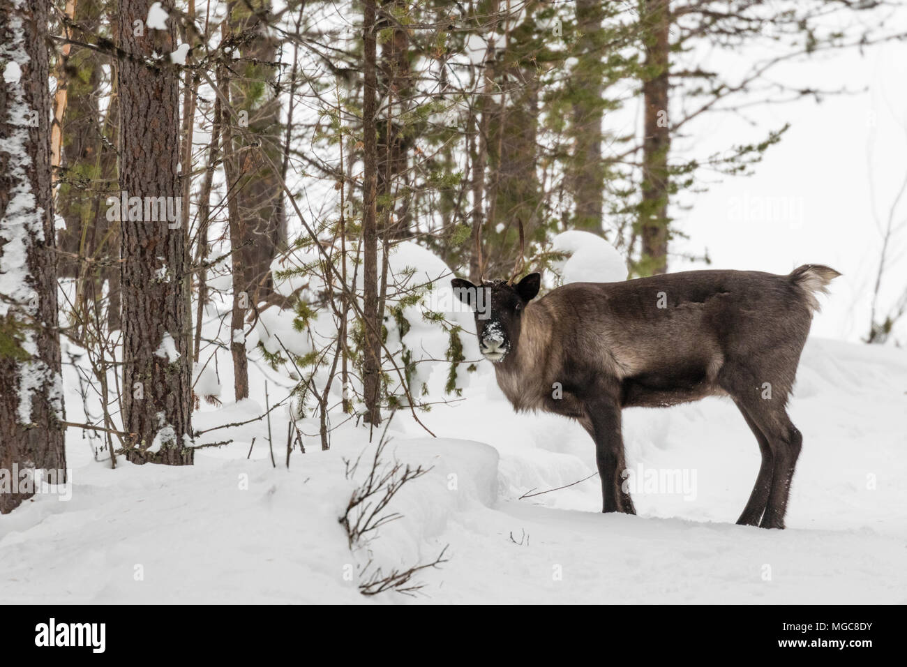 Reindeer, Rangifer tarandus, standing in forest in winter season looking in to the camera, Gällivare county, Swedish Lapland, Sweden - Stock Image