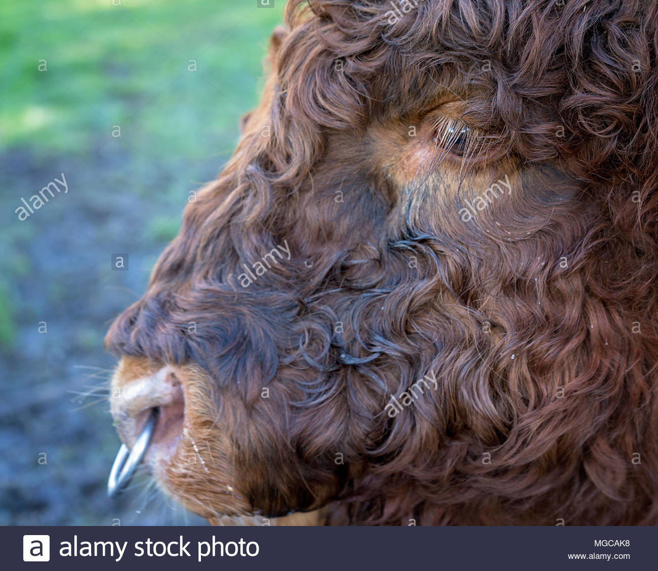 Close Up Of Curly Haired Highland Cow In New Zealand - Stock Image
