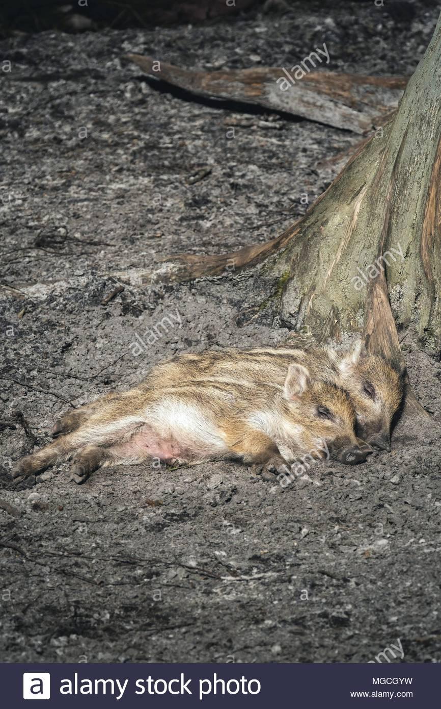 Schlafende Wildschwein-Frischlinge - Stock Image