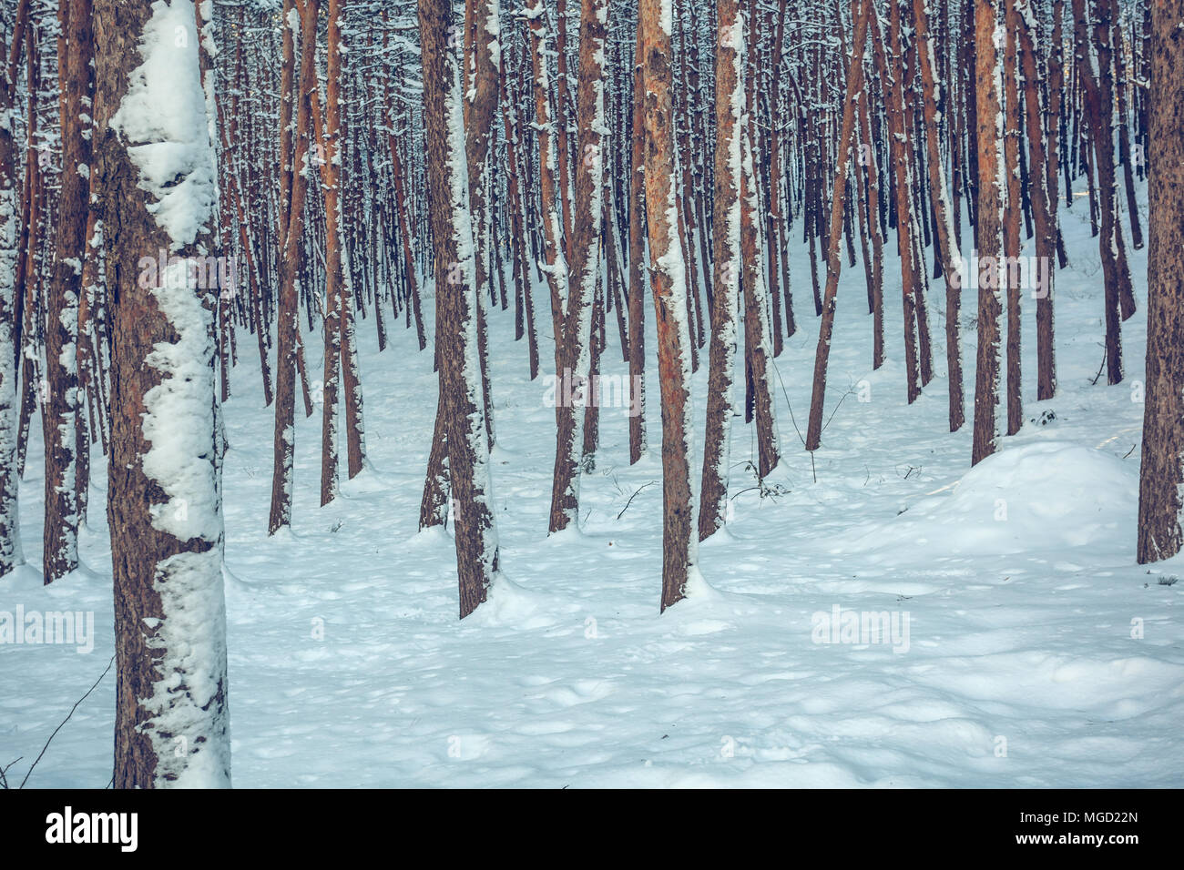 Snow over the spruces and pines. - Stock Image