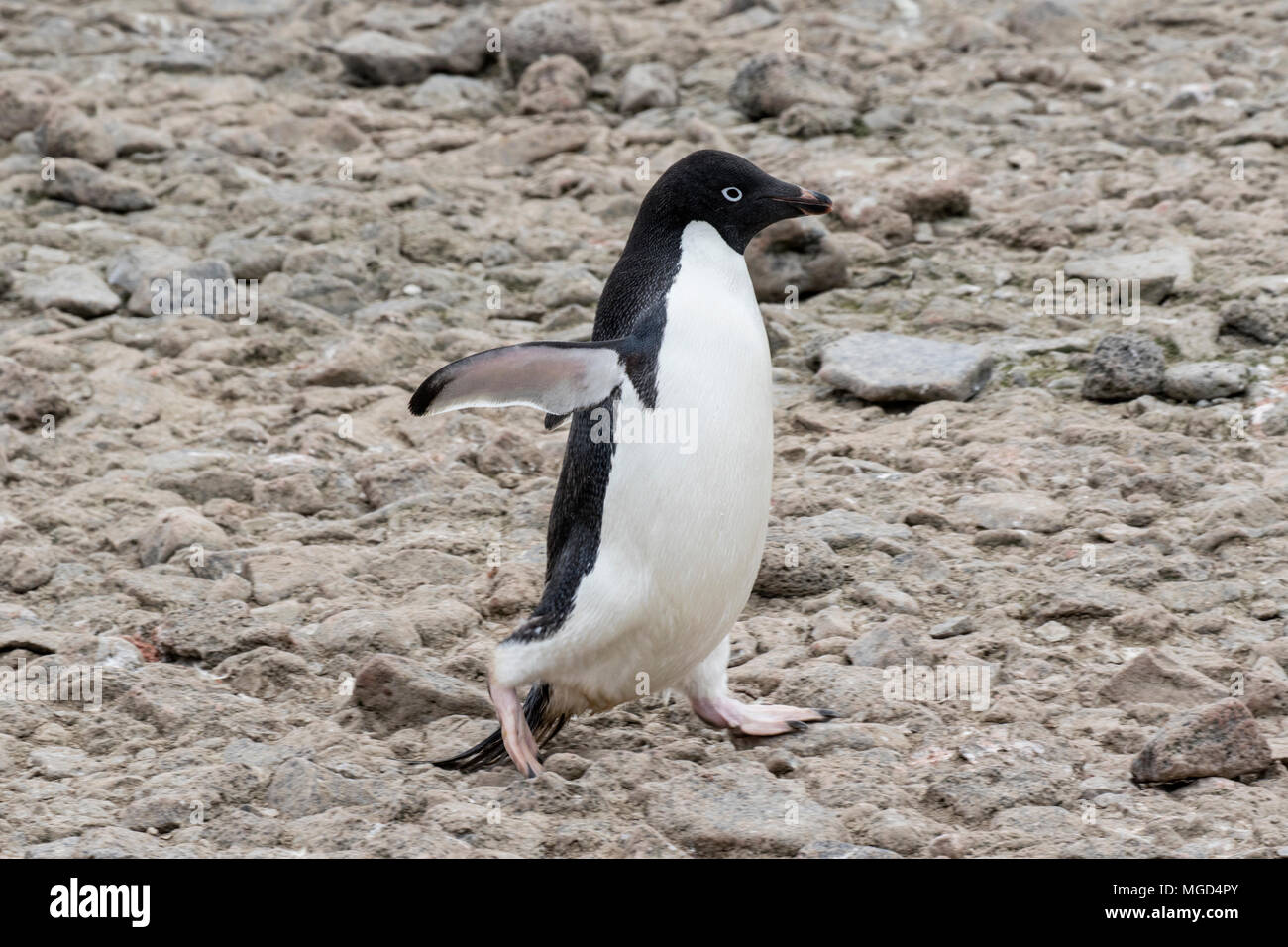 Adelie penguin Pygoscelis adeliae at breeding rookery or colony, Paulet Island, Weddell Sea, Antarctica - Stock Image