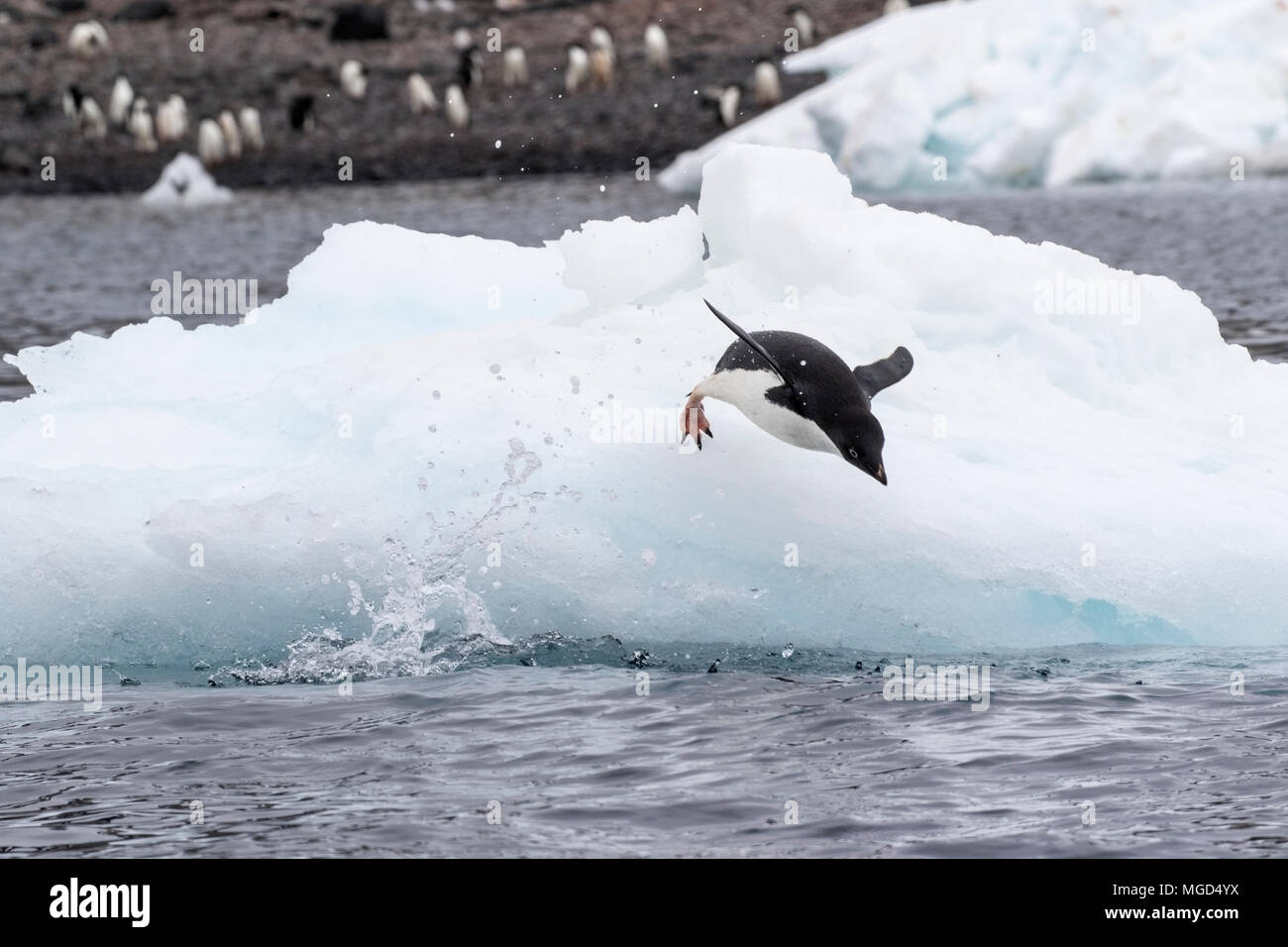 Adelie penguin Pygoscelis adeliae group of adults diving into sea from iceberg at breeding rookery or colony, Paulet Island, Weddell Sea, Antarctica - Stock Image