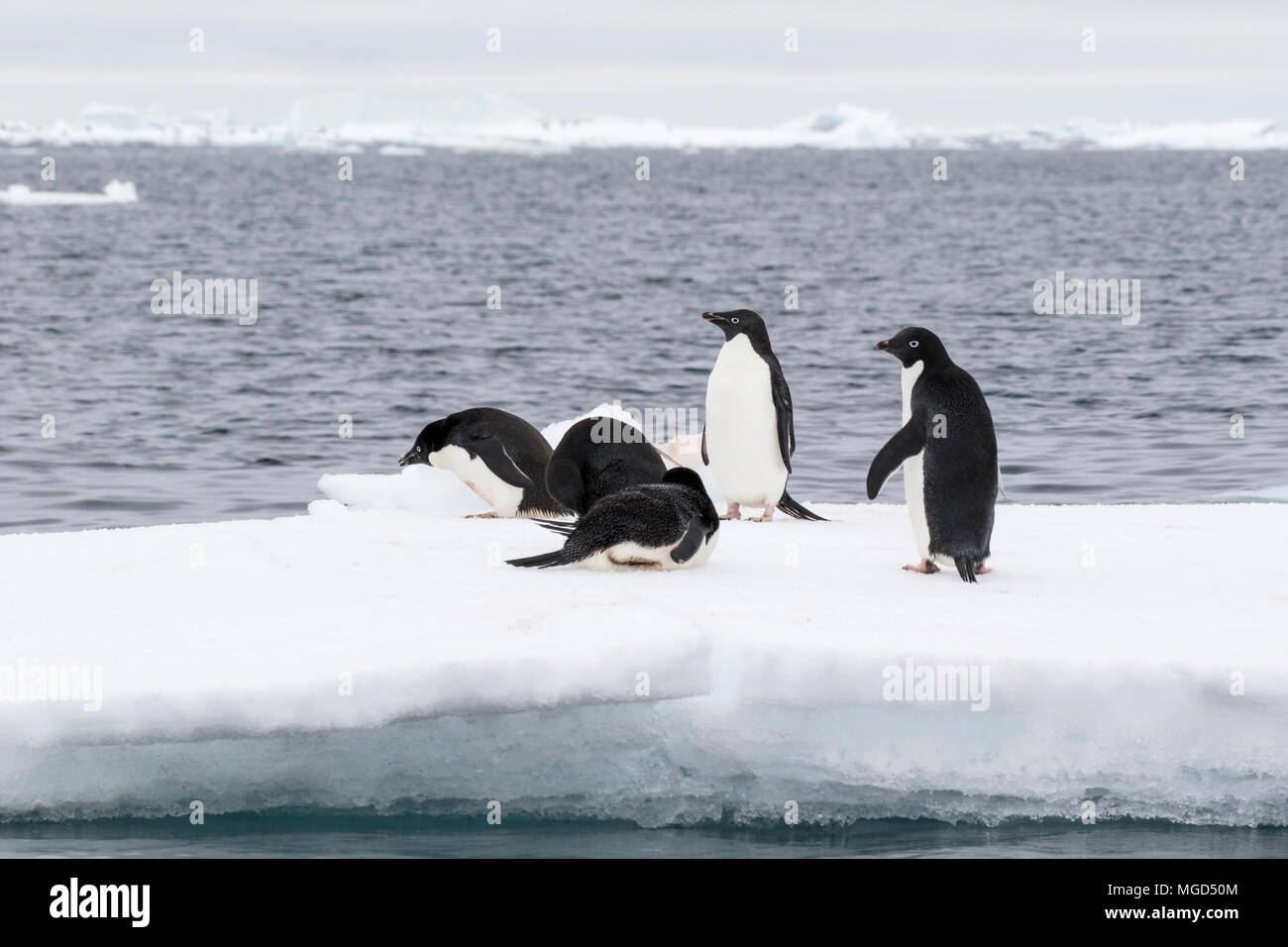 Adelie penguin Pygoscelis adeliae group of adults standing on iceberg at breeding rookery or colony, Paulet Island, Weddell Sea, Antarctica - Stock Image