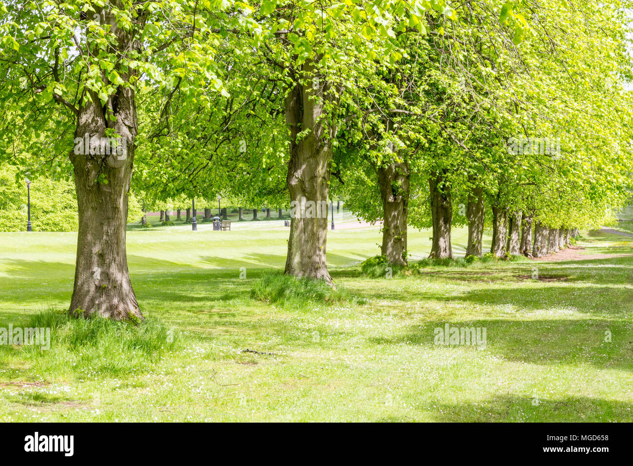Belfast/N. Ireland - May 31, 2015: Trees line the Prince of Wales Avenue leading up to Parliament Buildings also known as Stormont. - Stock Image