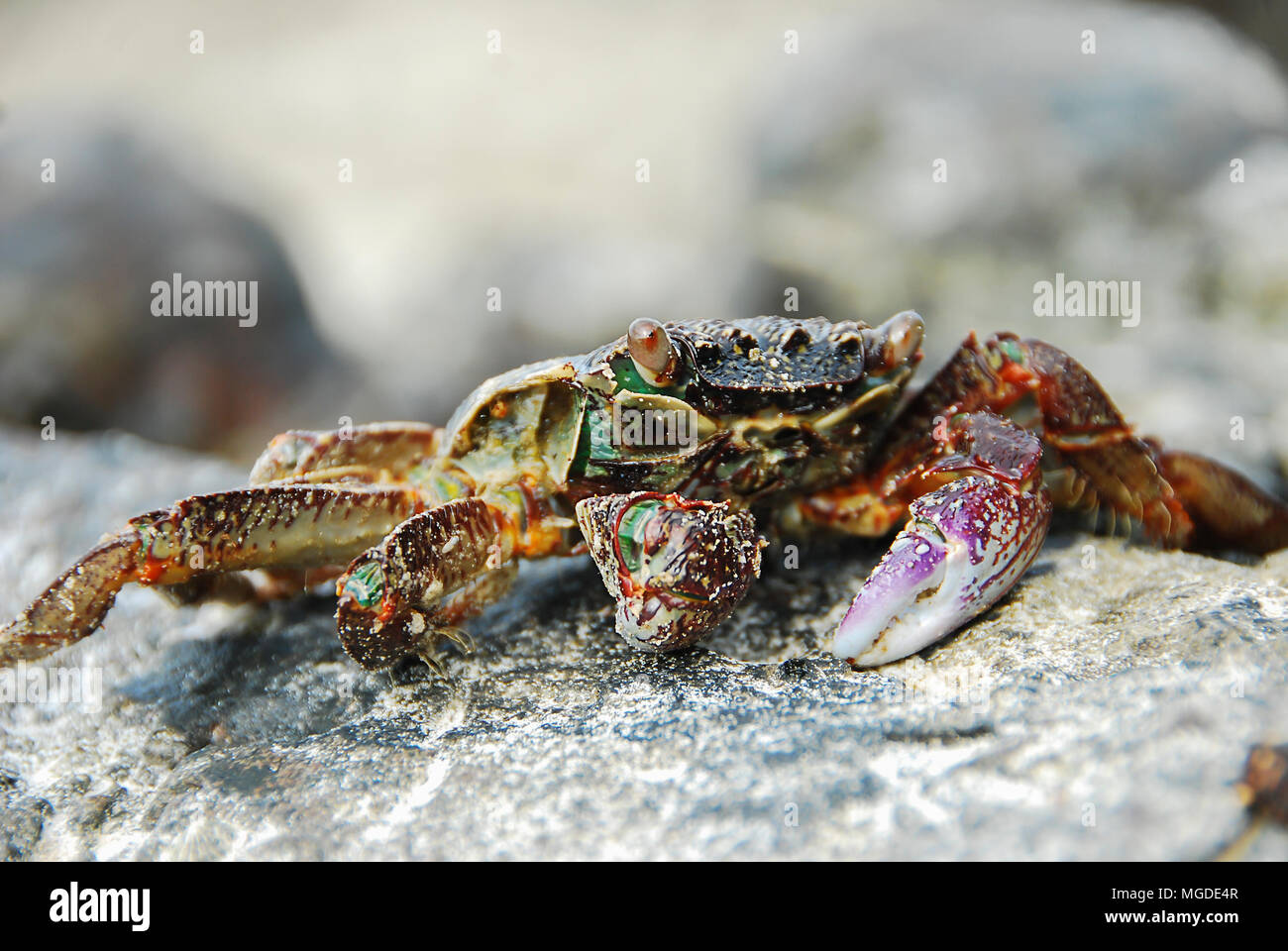 Colorful Crab decapods, yellow red legs and blue green strip carapace or crabshell, sea crab in south coast of Thailand Stock Photo